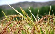ظهور خوشه های طلایی برنج در ۱۸درصد از شالیزارهای گیلان