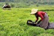 پیش بینی تولید ۱۲۰ هزار تن برگ سبز چای در سال جاری