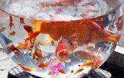 گیلان در زمره بزرگترین تامینکننده ماهی قرمز کشور