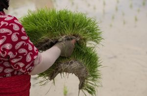 نشاء برنج در گیلان به روایت تصویر