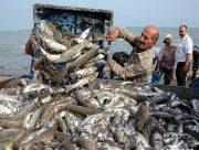تلفشدن بچه ماهیان استخوانی در آستانه اشرفیه