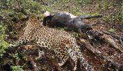 پرداخت خسارت حمله پلنگ به دامداران گیلانی